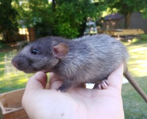 Black Silvermane Velveteen rat